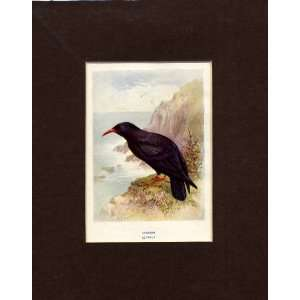 Cough Old Antique Bird Print 1910 Mounted By Lydon